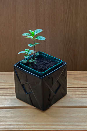 chocolate mint: Chocolate Mint herb in black plant pot