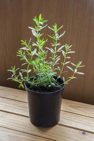 hyssop: Hyssop plant in plant pots.