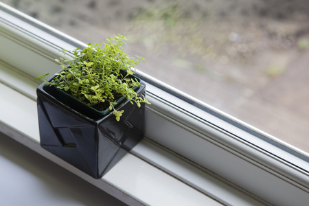 plant pot: Thyme in plant pot on window sill
