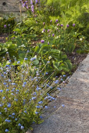 strawberrys: Forget me nots, making nice border with path, focus on blue flowers, fading to strawberrys, sage, fennel and chives in background. Stock Photo