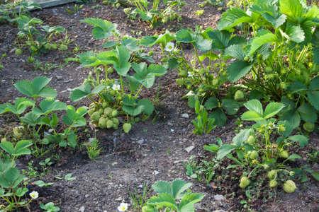 bounty: Las plantas de fresa que crecen en el jardín  adjudicación  campo de fresas - con una recompensa de fruta, algunos en flor.