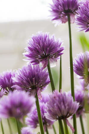 Allium flower: Chives (Allium schoenoprasum) in glorious pink flower and morning light Stock Photo