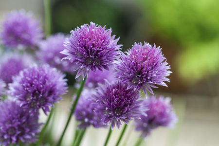 stalk: Chives (Allium schoenoprasum) in glorious pink flower Stock Photo