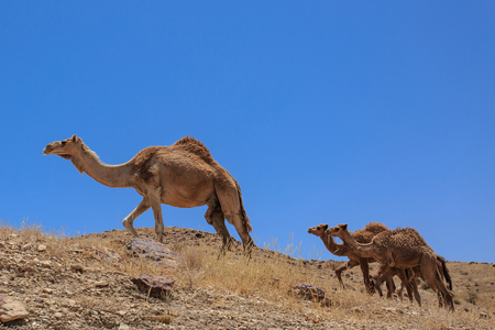 이스라엘, 네겝 사막, 아라비아 낙타 떼