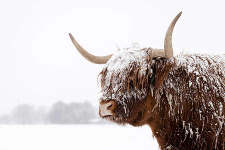 Scottish highland cow in the snow. Close-up photo of the head and horns in a winter landscape.