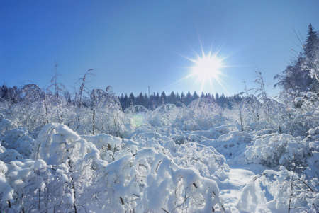Sun and snow-covered trees Stock Photo