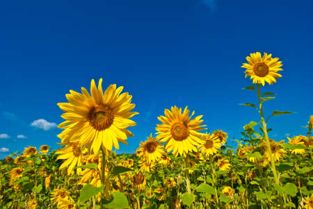 Sunflowers and the blue sky