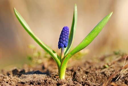 First spring flower in the garden