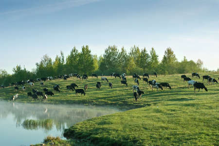 Herd of cows grazing on a field Stock Photo
