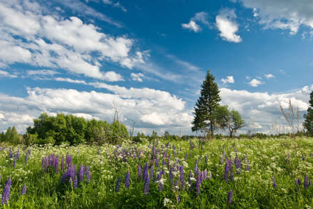 Summer lupine flowers on the meadow