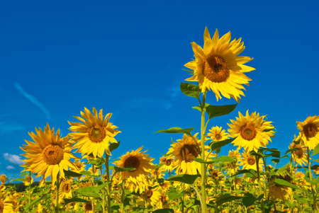 Sunflowers on blue sky Stock Photo - 4964959