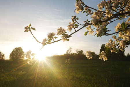 Spring sunset in  apple garden