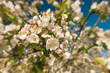 Closeup view of  white apple blossoms with  background out of focus photo