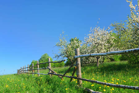 Blossom apple tree  in  green field with dandelions