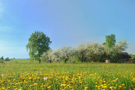 Blossom apple tree  in  green field with dandelions photo