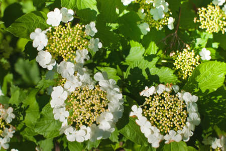 Flowering of viburnum on june 2009 Stock Photo
