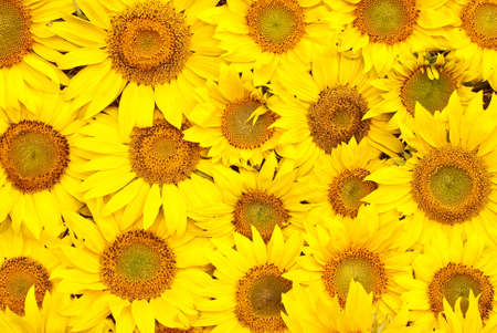 Sunflowers, oil and seeds  isolated on white background Stock Photo - 5273269