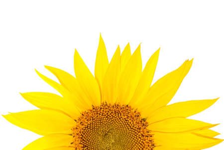 Sunflowers isolated on white background Stock Photo - 5321150