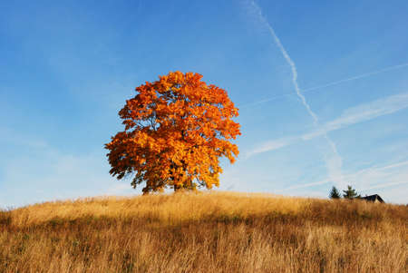 A solitary old maple tree in autumn finery