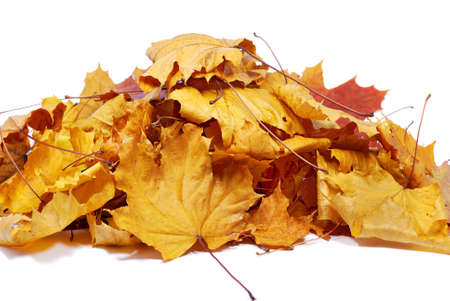 Autumn colored maple leaves isolated on a white background photo