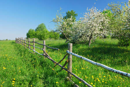 Blossom apple tree  in  green field with dandelions Stock Photo - 6089255