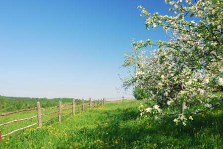 Blossom apple tree  in  green field with dandelions Stock Photo - 6109934