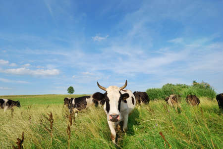 Dairy cows grazing in  meadow with blue sky in background Stock Photo