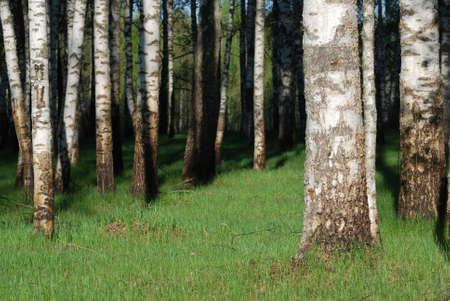 Birch grove on summer morning photo