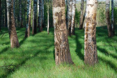 Birch grove on summer morning Stock Photo - 9857657