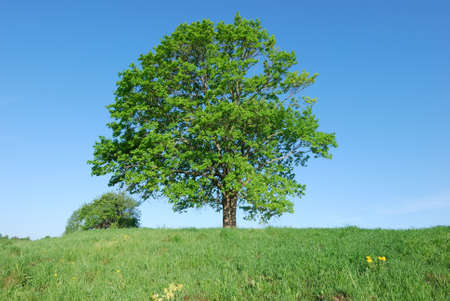 Lonely old maple on green meadow against  blue sky background Stock Photo - 9857656