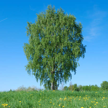 Lone tree in green meadow with blue sky Stock Photo - 9857653