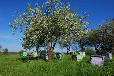 Shoot of honey bee hives in spring apple garden