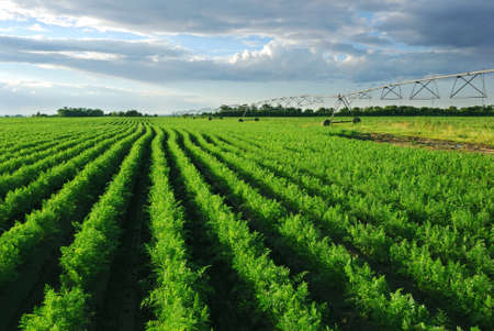 Shoot of carrot field with irrigation system at sunset
