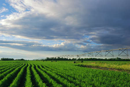 Shoot of �?arrot field with irrigation system at sunset Stock Photo