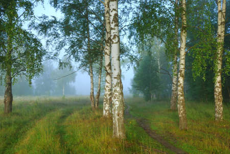 Shoot of foggy morning in birch forest