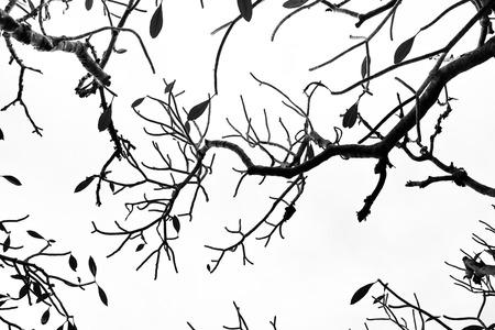Background of Plumeria (frangipani) tree.texture