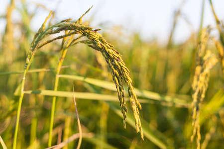 Rice crop the sunshine