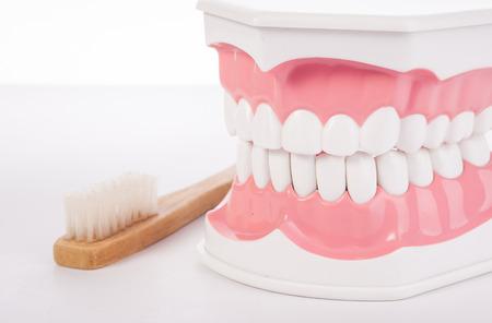 anatomical model: Healthy white human teeth anatomical model. Dentistry.