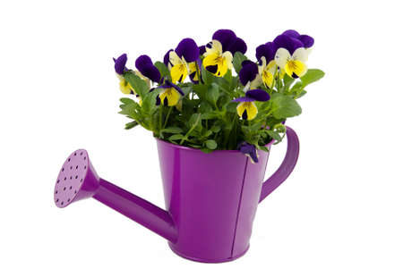 Beautiful violets in pink watering can isolated on white photo