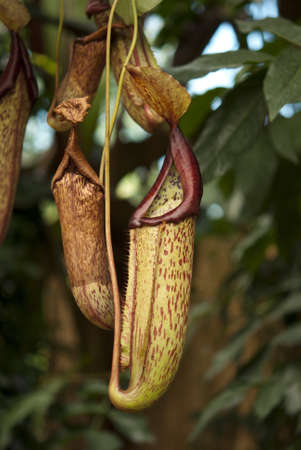 botanica: View of a carnivorous pitcher plant