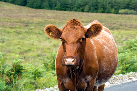 Brown cow in the field photo