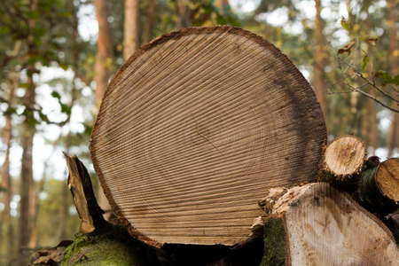 kerf: Nice close-up of a cut trunk with the detailed kerf.