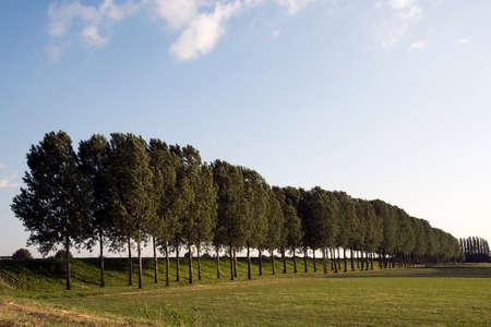 poplars: Row of poplars trees on a summer evening