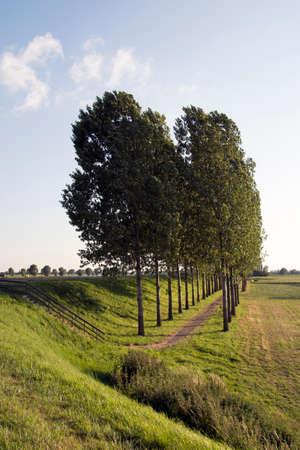poplars: View of a path thourgh poplars trees