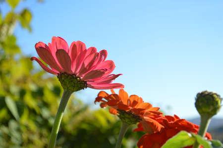 blooming: Blooming Gerbers Stock Photo