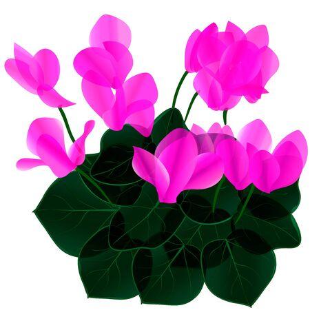 cyclamen: flowers
