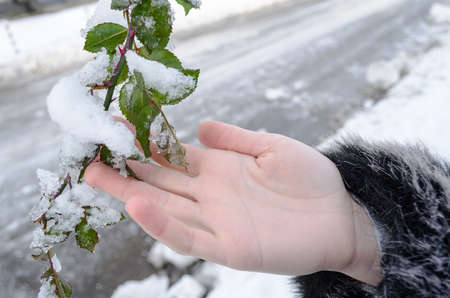 nodular: Plant  in hand closeup snow background
