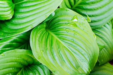 Water drops of hosta leaf