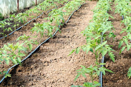 Newly planted tomato shoots in greenhouse