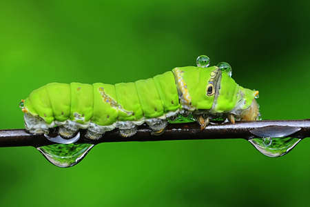 imago: Beautiful green caterpillar